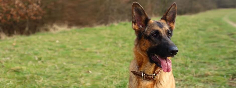 ژرمن شپرد یک سگ نگهبان باغ است