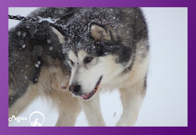 سگ هاسکی مالاموت و زندگی در برف و سرما