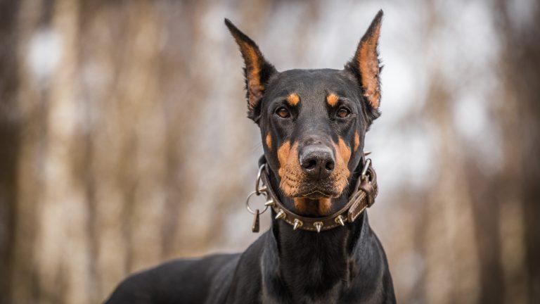 دوبرمن یک سگ نگهبان با ابهت است