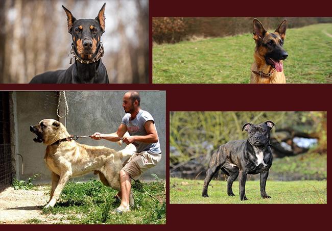 انواع سگهای نگهبانی که در این مطلب خواهید دید