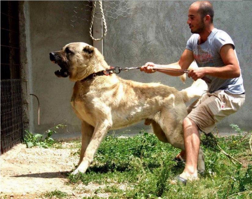 سگ کنگال به سختی قابل مهار است