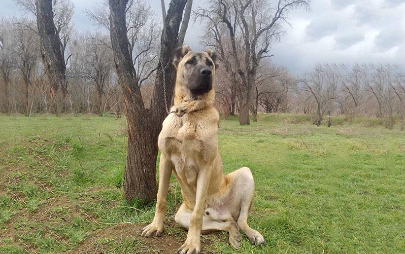 تصویر سگ سرابی در حالت نشسته