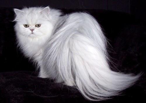 گربه پرشین کلاسیک سفید
