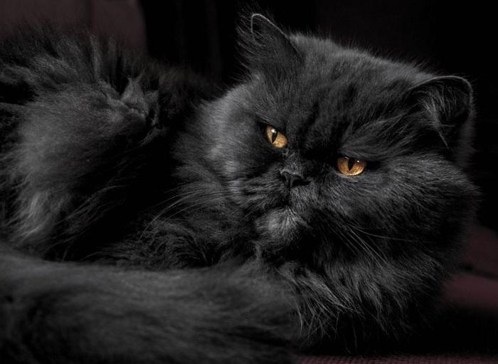 گربه پرشین کلاسیک مشکی