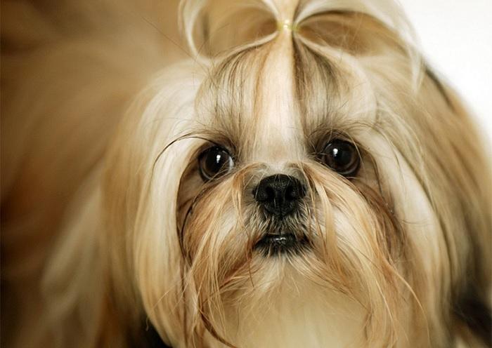 سگ شیتزو کراس