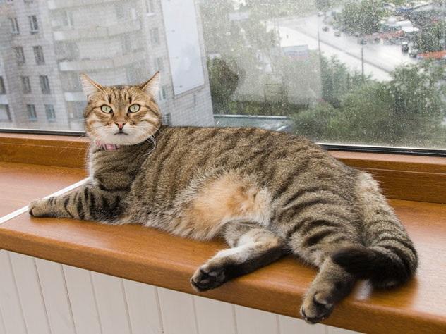 بهترین نژاد گربه آپارتمانی