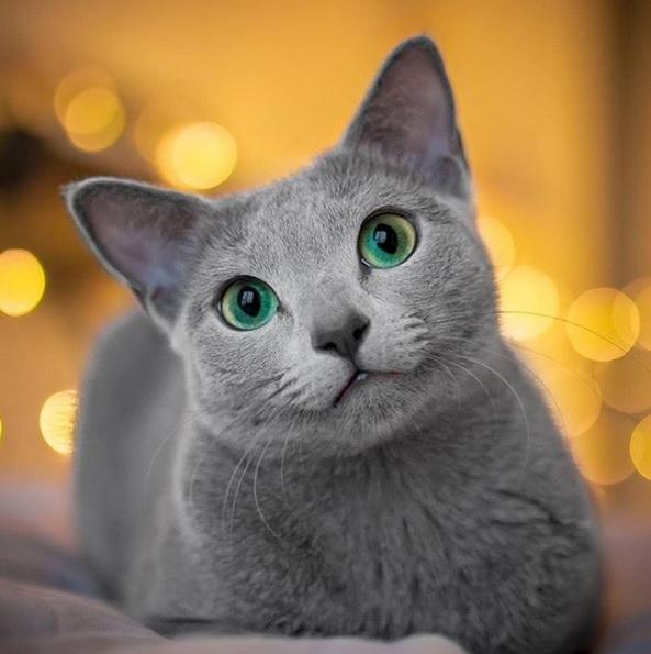 گربه راشن بلو از بهترین نژاد گربههای آپارتمانی
