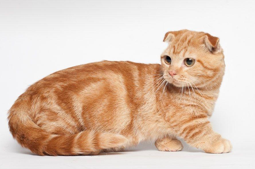 گربه اسکاتیش فولد یک گربه آرام