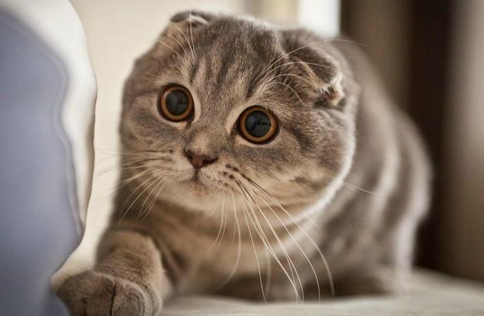 چشمهای زیبای گربه اسکاتیش فولد