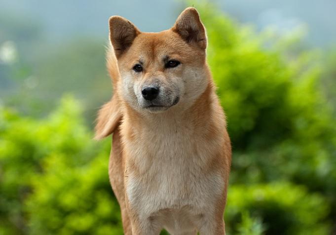 سگ آکیتا