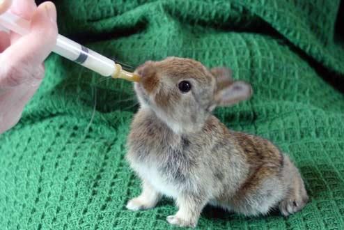 خرگوش نوزاد باید شیر بخورد