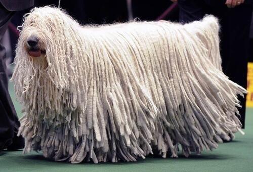 سگ مالتیز با موی بلند