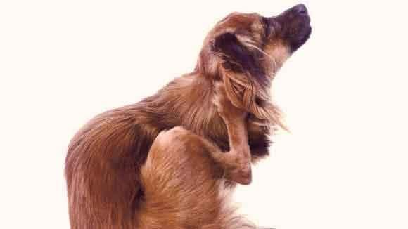 شپش سگ را با دقت از بدن او جدا کنید