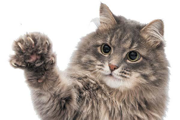 ناخن بلند گربه