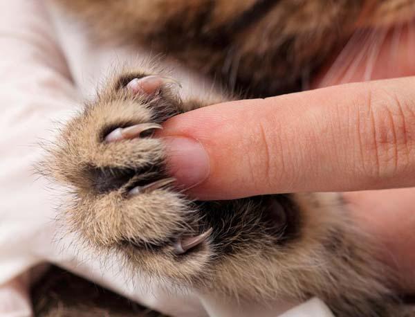 احتمالا گربه در برابر کوتاه کردن ناخن برای دفعات اول مقاومت میکند.