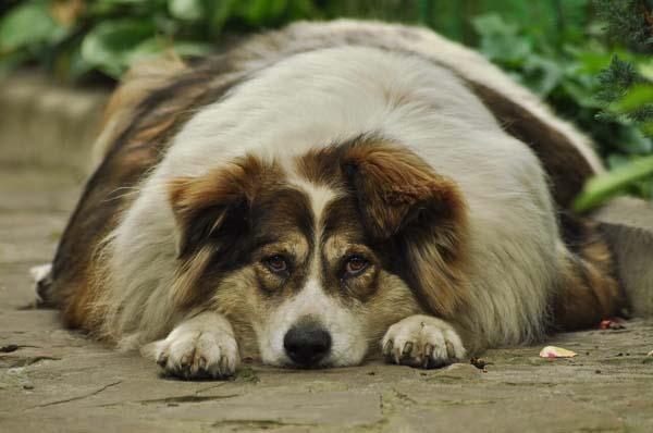 چاقی سگ چه علائمی دارد؟