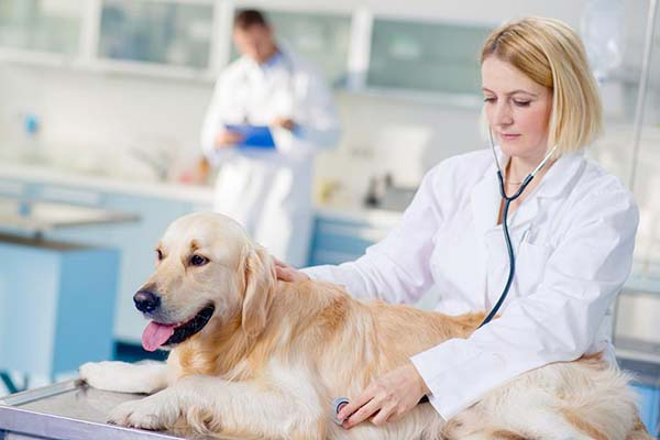 مراجعه به دامپزشک برای چاقی سگ