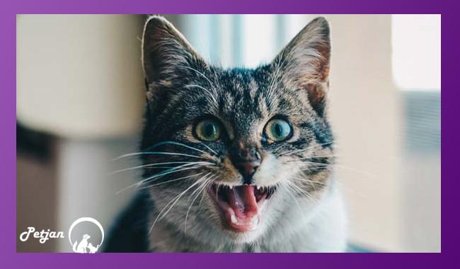 بچه گربهها 26 دندان شیری دارند