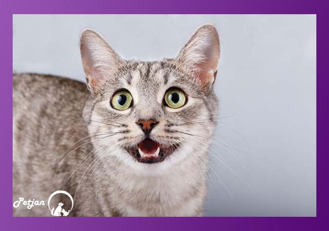 دندان شیری گربهها
