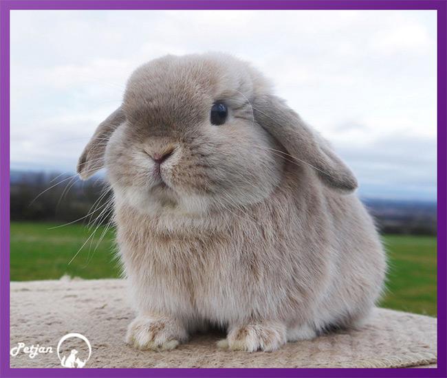 گوشها و دم خرگوش لوپ در بین تمام نژادهای آن مشترک است